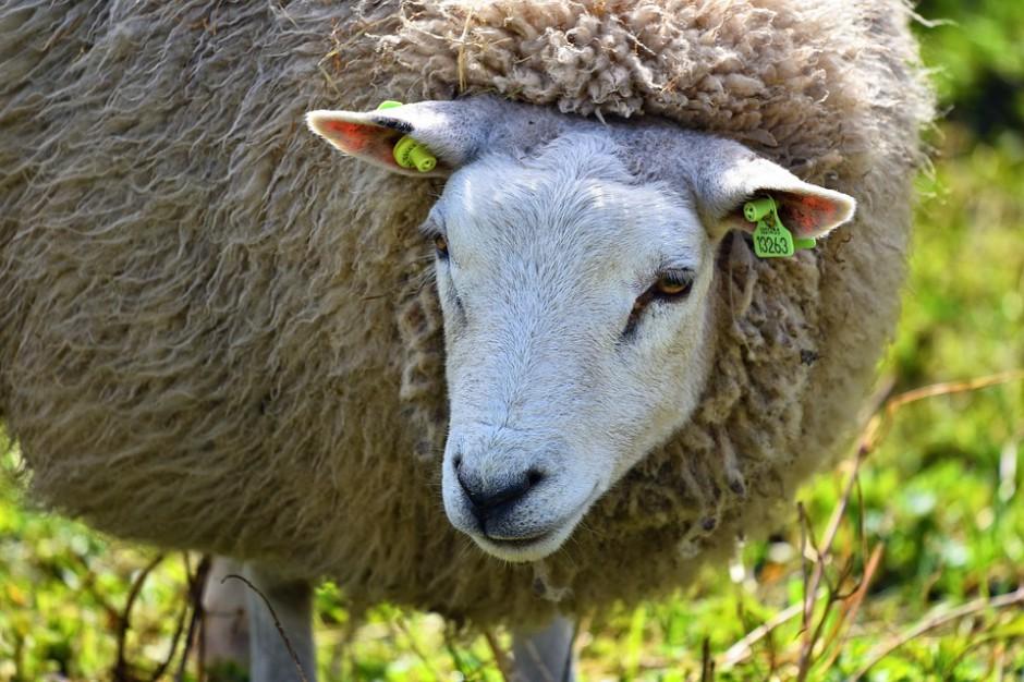W maju rozpocznie się redyk owiec w Bieszczadach i Beskidzie Niskim