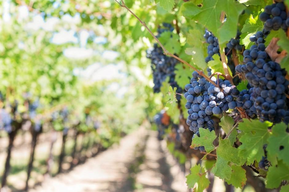 Podkarpackie: Powstają lokalne szlaki winiarskie. Turyści mogą zwiedzić winiarnie
