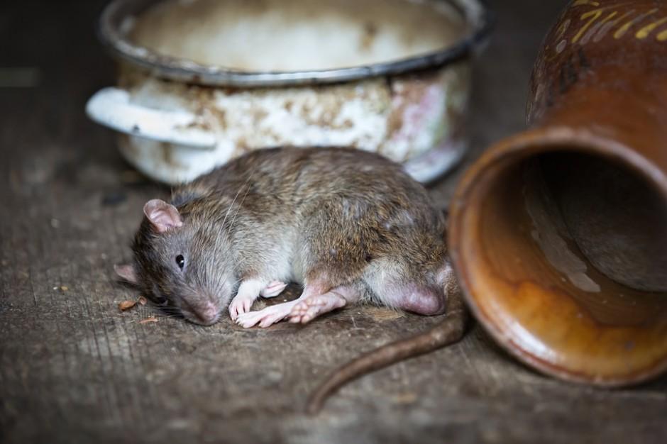 W Sosnowcu wodociągi nagłaśniają problem szczurów w kanalizacji