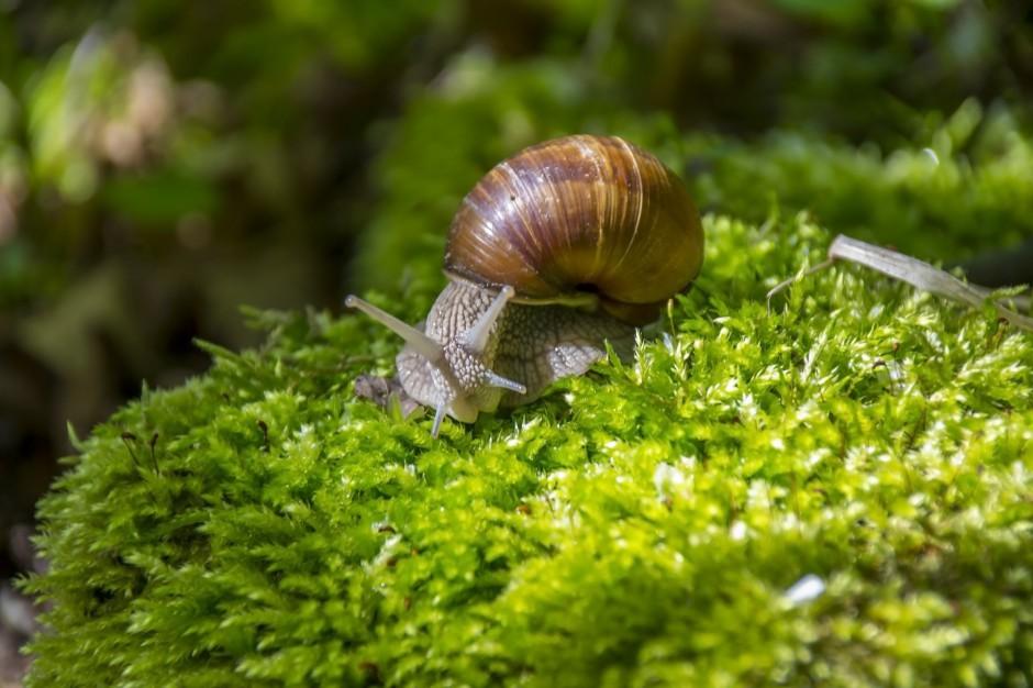 Warmińsko-mazurskie: Ruszają zbiory ślimaka winniczka