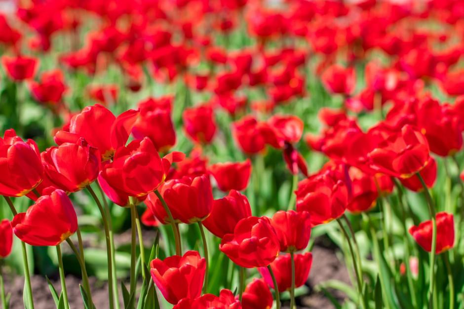 Ponad 30 tys. kwiatów zakwitnie w Bielsku-Białej