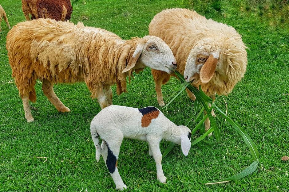 Owce i kozy będą kosić trawę w parkach