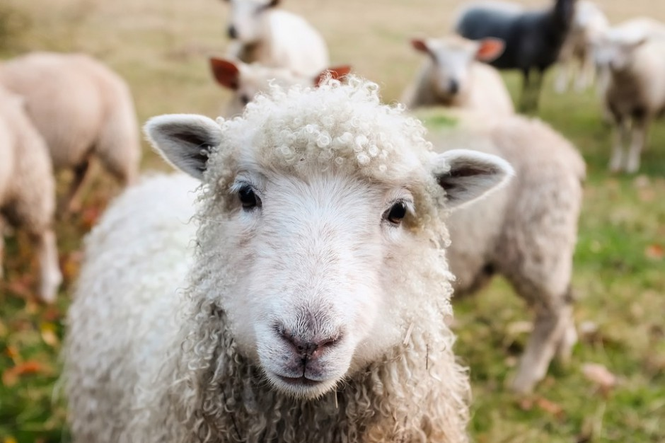 """Śląskie: Konkursy programu """"Owca Plus"""" rozstrzygnięte. Kto otrzyma wsparcie?"""