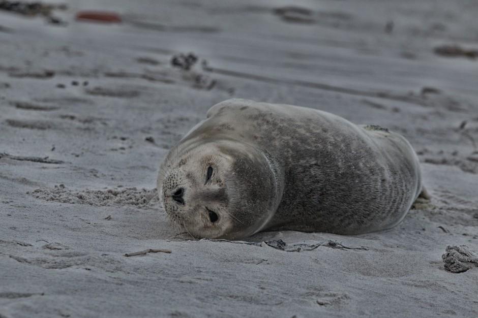 W Helu znaleziono kolejną martwą fokę