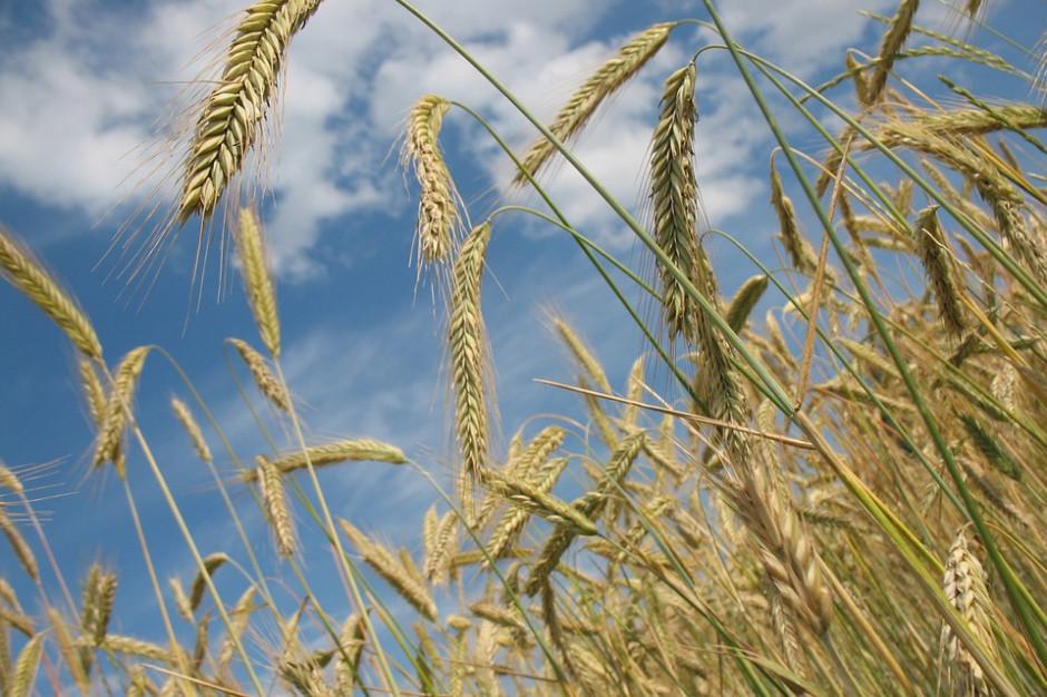 Przez suszę mniejsze będą zbiory zbóż i rzepaku. Szybciej zaczną się żniwa