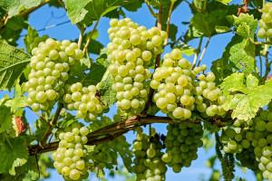 Dobre wieści dla smakoszy wina. Szykuje się dobry rok