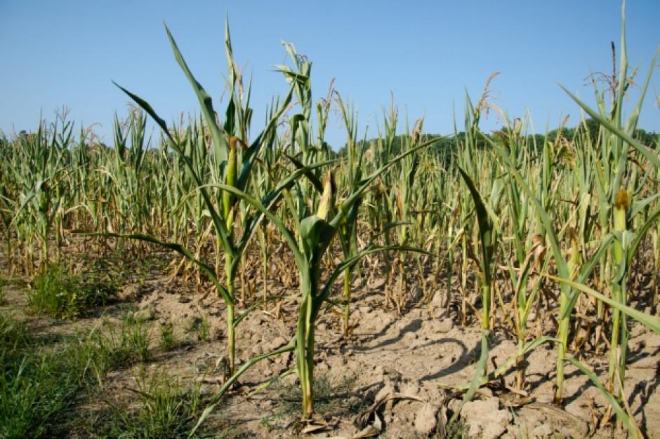 Rolnicy walczą z suszą. Nie ma komu liczyć strat