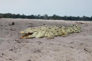 Krokodyl w nadmorskiej miejscowości. Burmistrz uspokaja
