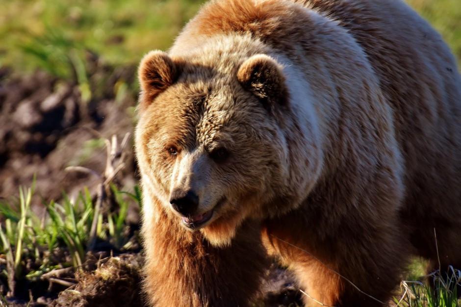 Niedźwiedź z Białorusi przywędrował do Polski. Ślady w turystycznej miejscowości
