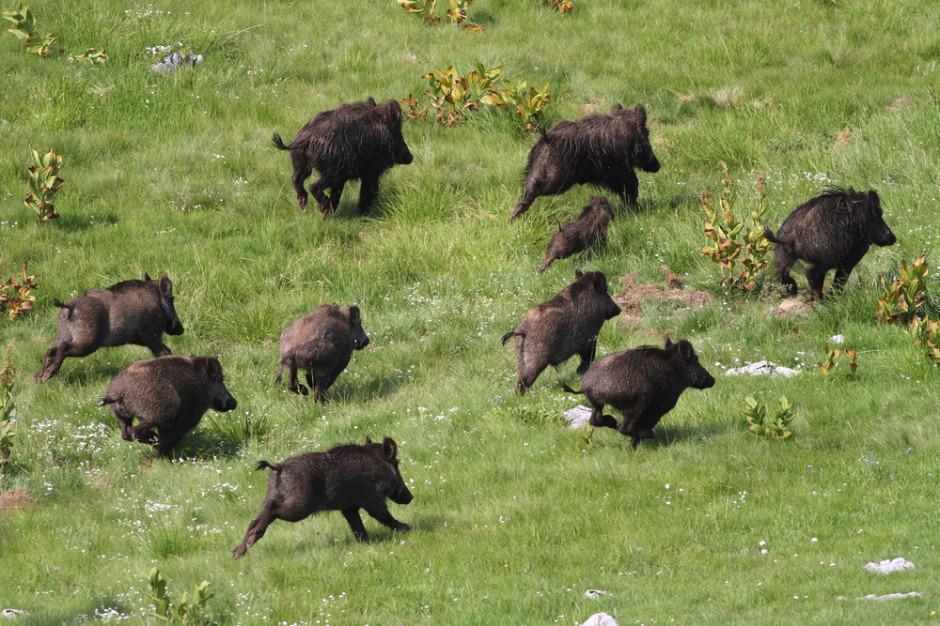 Na Podkarpaciu wykryto pierwsze ognisko afrykańskiego pomoru świń