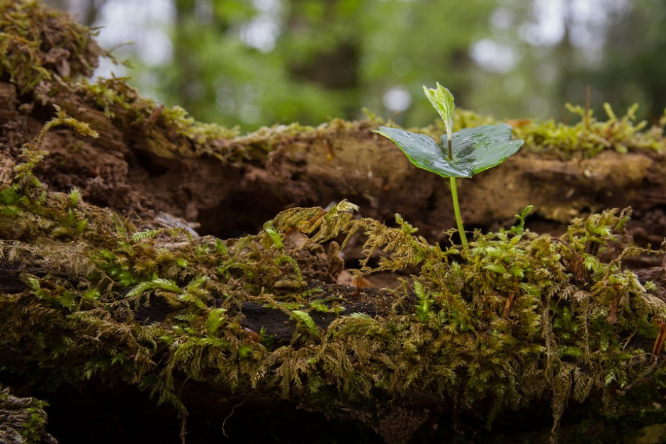 100 tys. drzew na 100-lecie Polski