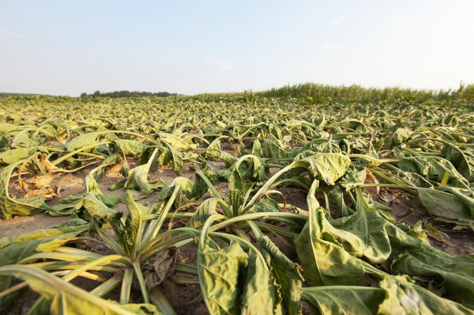 Województwo lubelskie szacuje straty - susza wyrządziła największe na północy regionu