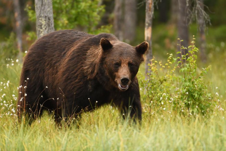 Niedźwiedź brunatny był widziany w Beskidzie Małym