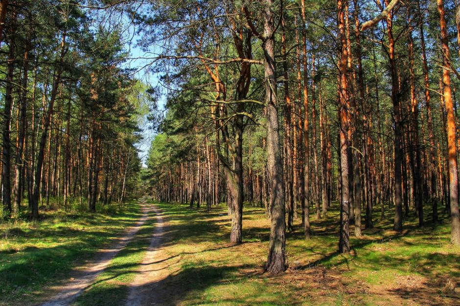 Kornik w Nadleśnictwie Kościan; 160 hektarów lasu do wycinki