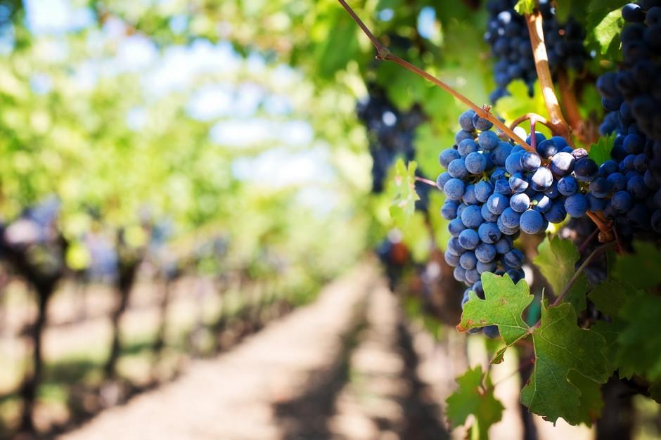 Winnice w Polsce coraz popularniejsze