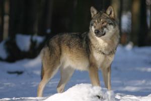 Zwierzęta wyrządziły szkody za ponad 390 tys. zł