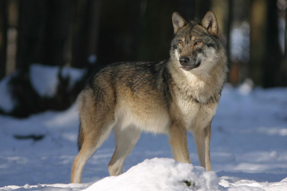 Podkarpackie: Zwierzęta wyrządziły szkody za ponad 390 tys. zł