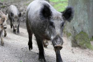 Ardanowski: Odstrzał dzików w związku z ASF musi być przyśpieszony