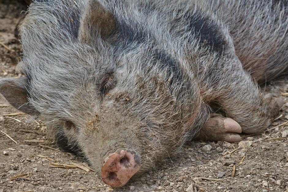 Styczniowe polowania na dziki ograniczone do kilku powiatów. Minister zdradza liczbę zwierząt do odstrzału