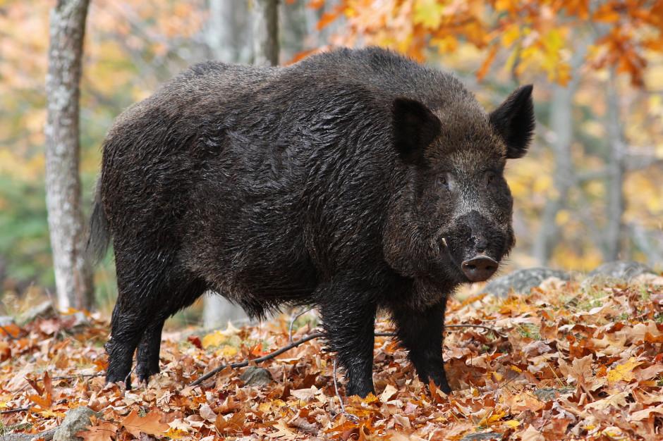 Henryk Kowalczyk: w styczniu polowania na dziki w trzech województwach