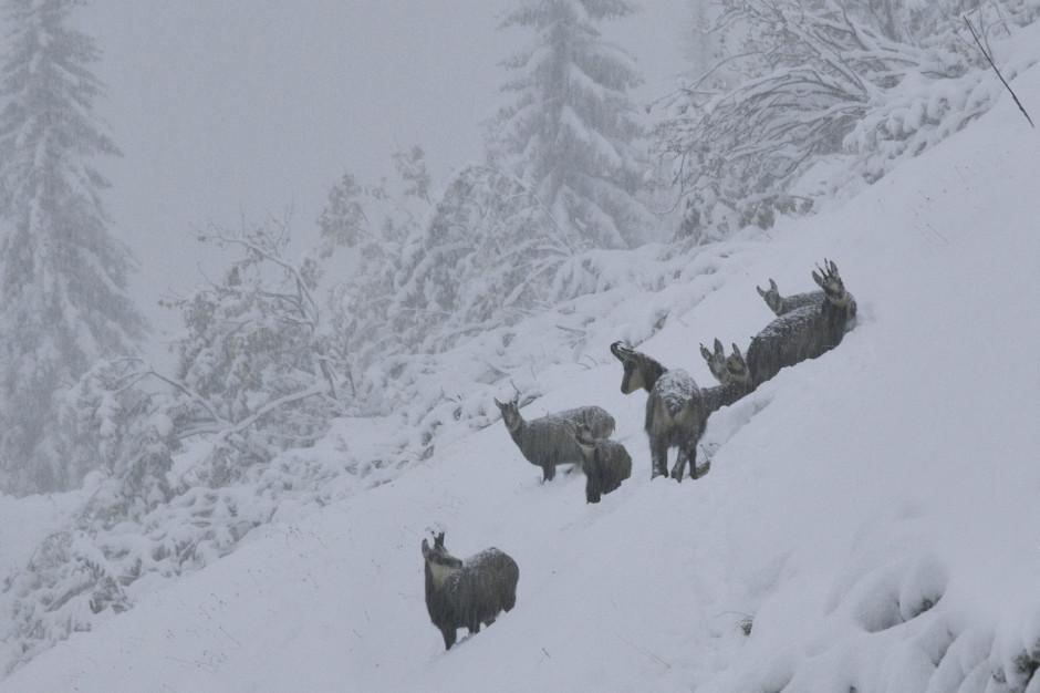 Tatry: Zagrożenie lawinowe. Kozice uciekają w niższe partie gór