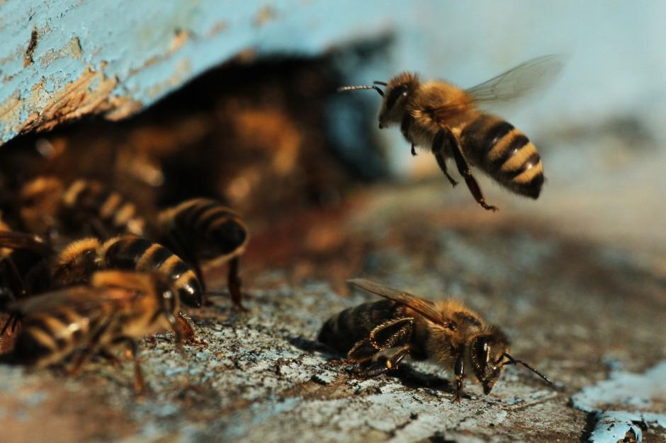 Władze województwa zabezpieczyły w budżecie pieniądze dla pszczelarzy (fot. shutterstock)