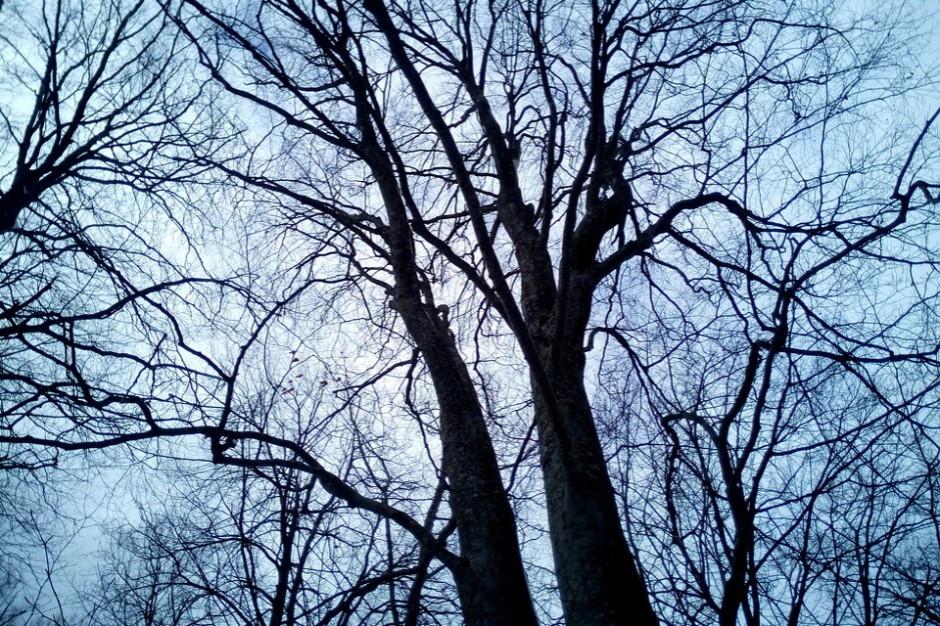 Gdańsk. Ponad 100 drzew do wycięcia ze względów bezpieczeństwa