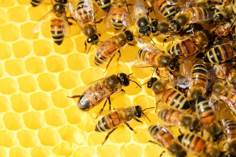 Pszczoły w miastach często radzą sobie lepiej, niż na wsi