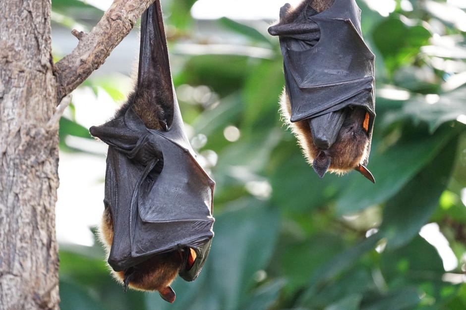 W Puszczy Rominckiej zimuje rekordowa liczba nietoperzy