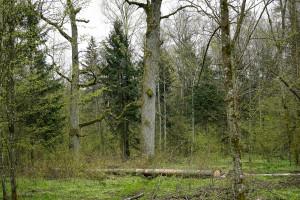 Wielka wycinka drzew w ramach przekopu Mierzei Wiślanej. Była zgoda?