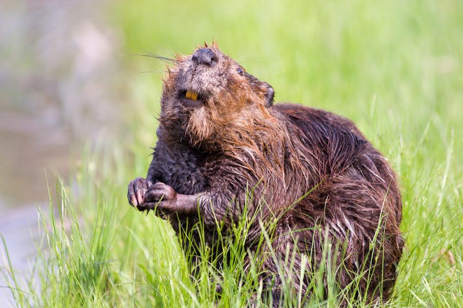Warmińsko-mazurskie: RDOŚ sfinansuje przesiedlenie bobrów