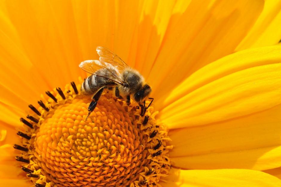 Ponad milion złotych na ratowanie pszczół na Dolnym Śląsku