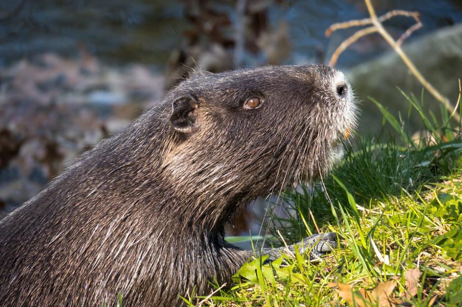 1,7 mln zł na ograniczenie zniszczeń spowodowanych przez wilki i bobry