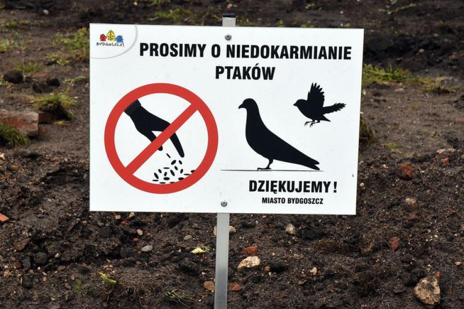Bydgoszcz rusza na wojnę z gołębiami. Miasto szuka sokolników