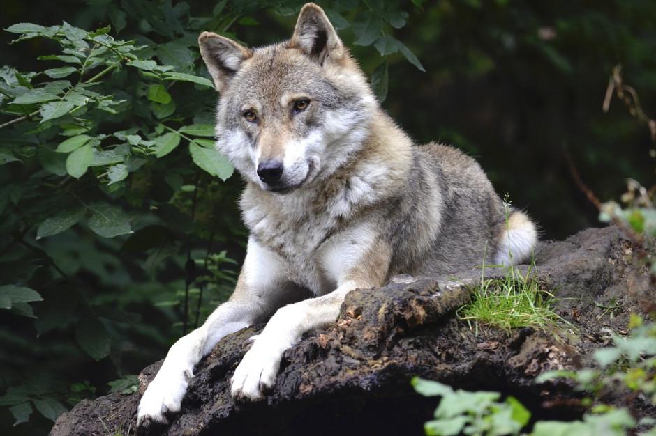 Ministerstwo Środowiska zaprasza gminy wiejskie do dyskusji o przyszłości wilka w Polsce