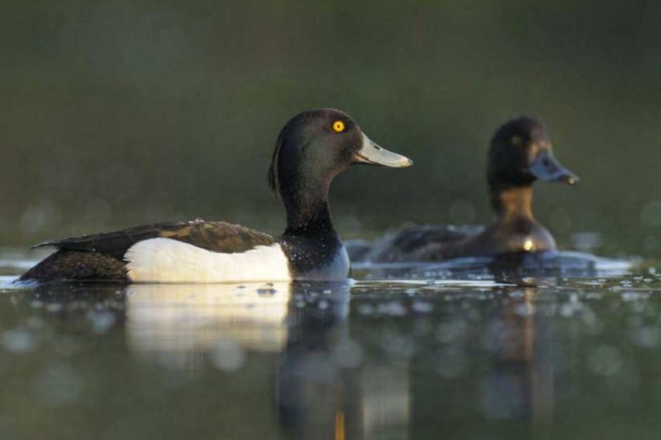 Przyrodnicy apelują: należy zmienić prawo łowieckie. Ptaki łowne zagrożone wyginięciem