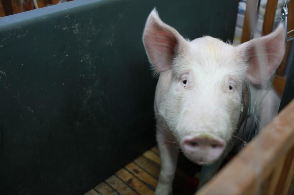 Warmińsko-mazurskie: prawie 9,5 tys. świń do likwidacji w zw. z ASF