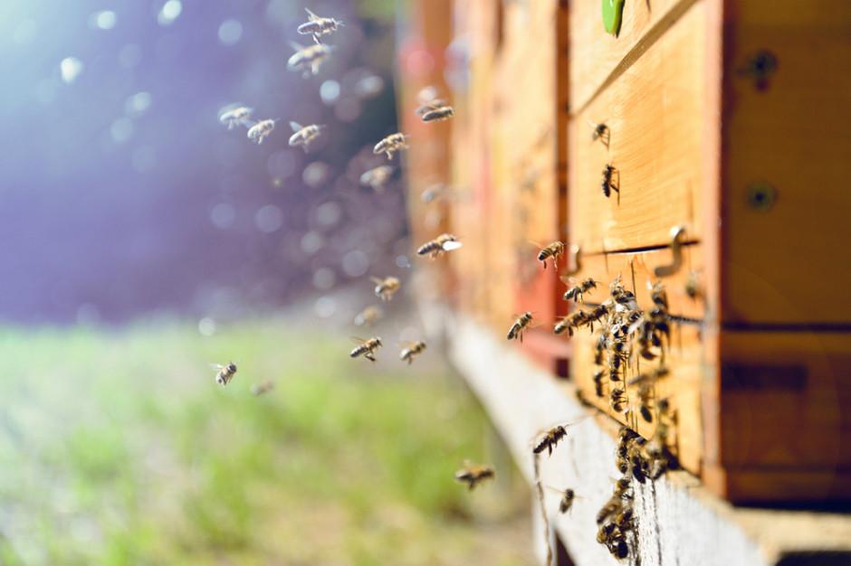 """Miód z Poznania będzie promował """"miasto przyjazne pszczołom"""""""