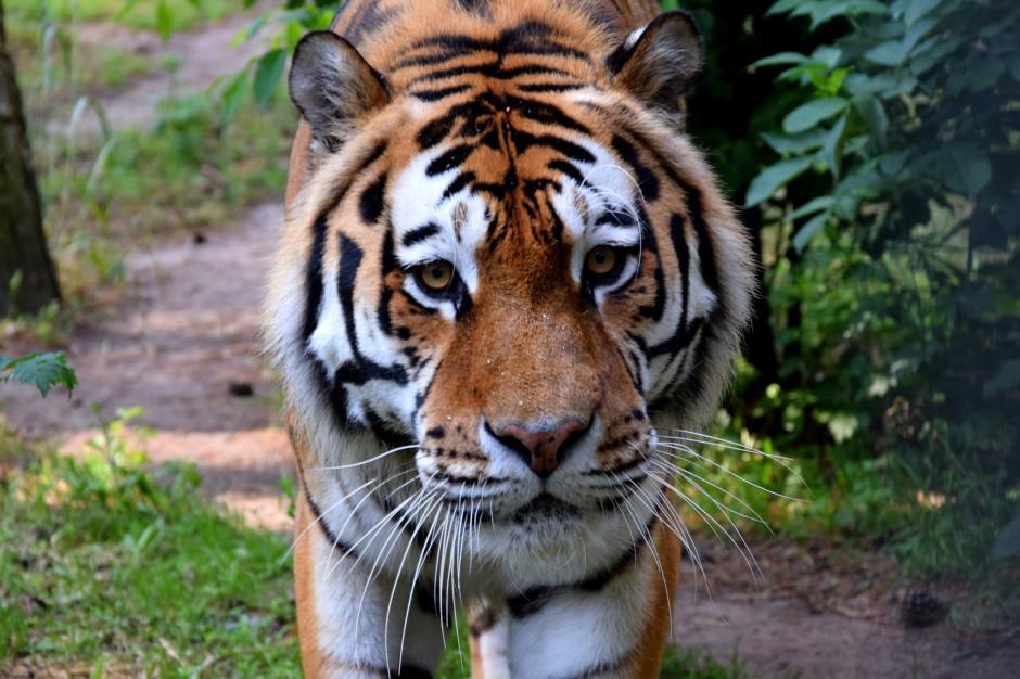 Zoo w Poznaniu czasowo zaopiekuje się tygrysami