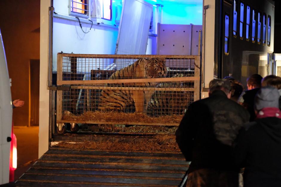 Są zarzuty znęcania się nad zwierzętami dla organizatora transportu tygrysów