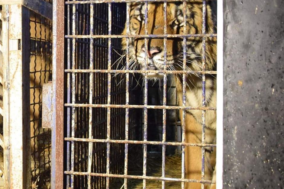 Poznaliśmy przyczynę śmierci tygrysa przewożonego z Włoch