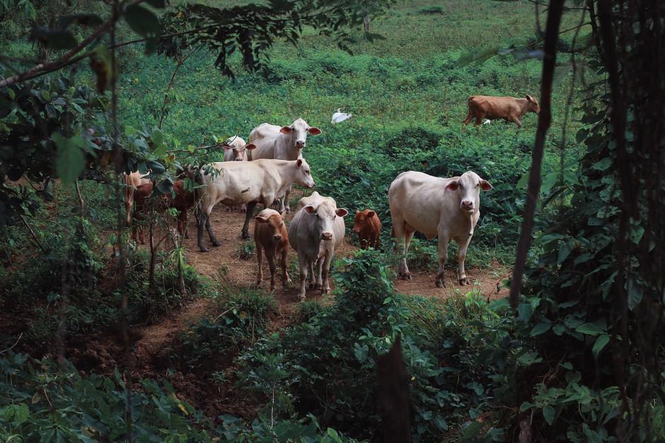 Główny Inspektorat Weterynarii: krowy z Deszczna są bez opieki