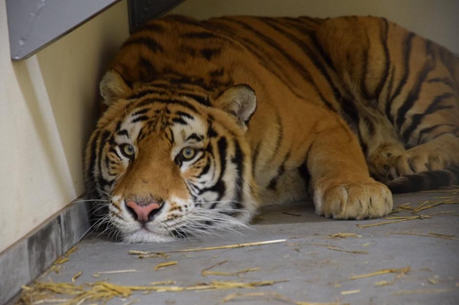 Poznańskie zoo: w niedzielę możliwy transport 5 tygrysów do azylu w Hiszpanii