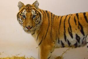 Uratowane tygrysy nie pojadą na razie do azylu w Hiszpanii. Wszystko przez wójta?
