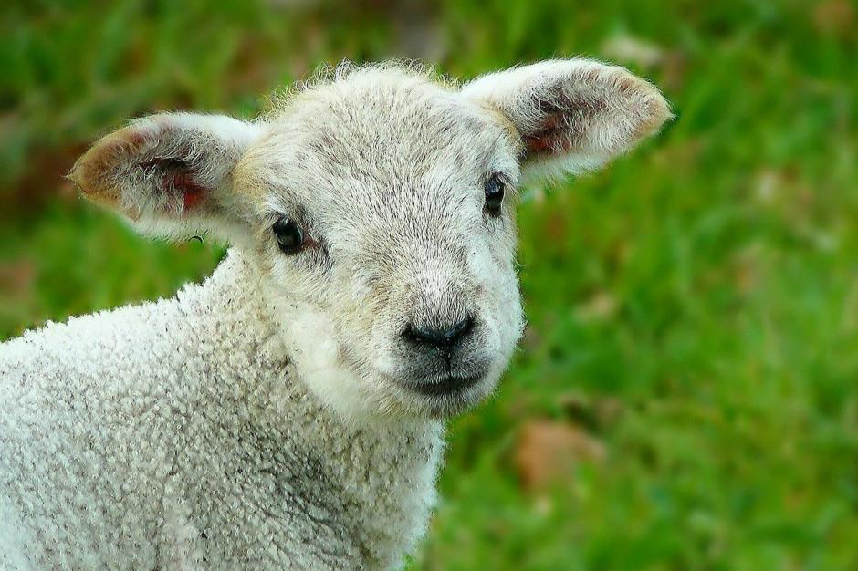 """Owca Plus"""". W dziesięć lat potrojono pogłowie owiec na Śląsku - Ochrona  środowiska"""