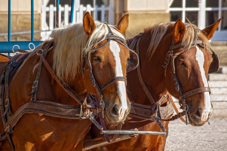 Sprawa koni dorożkarskich w Krakowie wraca do prokuratury