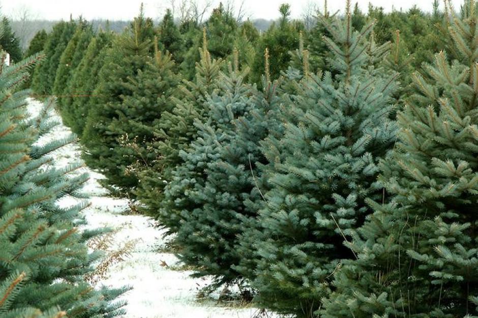 Leśnicy gotowi do świąt