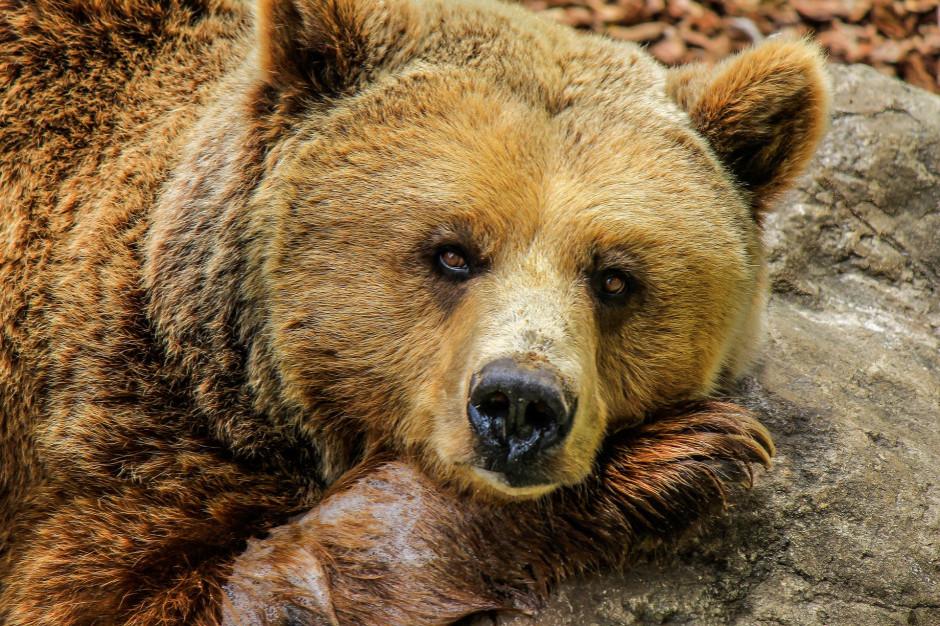 Podkarpackie: Większość niedźwiedzi zaszyła się już w gawrach