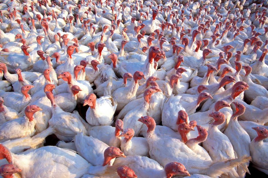 Ptasia grypa w Wielkopolsce. Stado do likwidacji