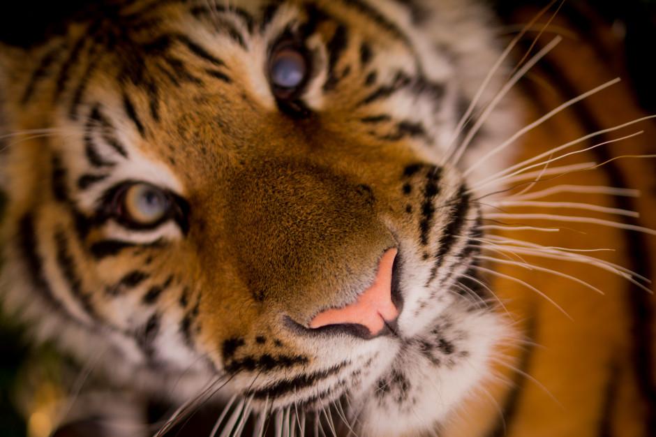 Fundacja AAP dziękuje Polakom za zaangażowanie ws. tygrysów uratowanych z przemytu